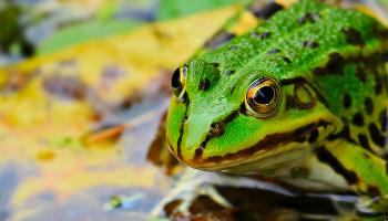 До чого сниться жаба? Тлумачення сну з жабою по сонникам