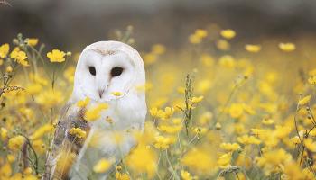 До чого сниться сова – сонник, тлумачення сну про білих сов і чорних пугачів, зловити сову уві сні