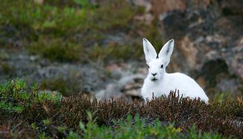 До чого сниться заєць – сонник, тлумачення сну про білих і сірих зайцев, зловити зайця руками уві сні