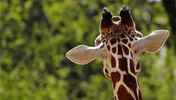 До чого сниться жираф – сонник, тлумачення сну з жирафами