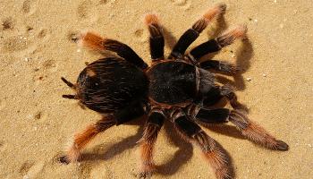 До чого сняться великі павуки – тлумачення снів з величезними павуками